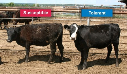Fescue Toxicosis in Cattle